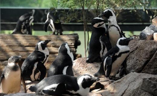 京都水族館-ペンギン