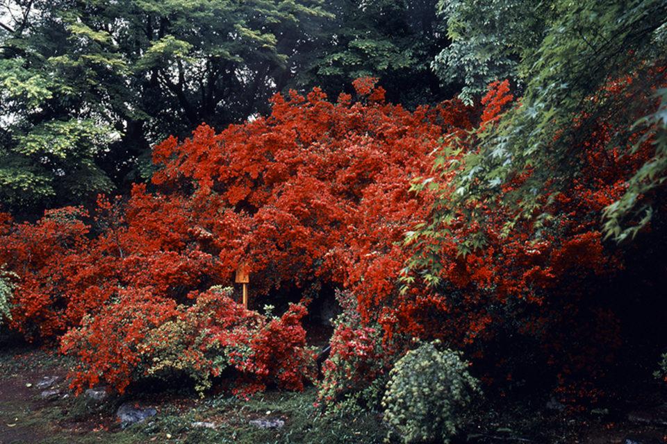 青蓮院門跡-霧島の庭