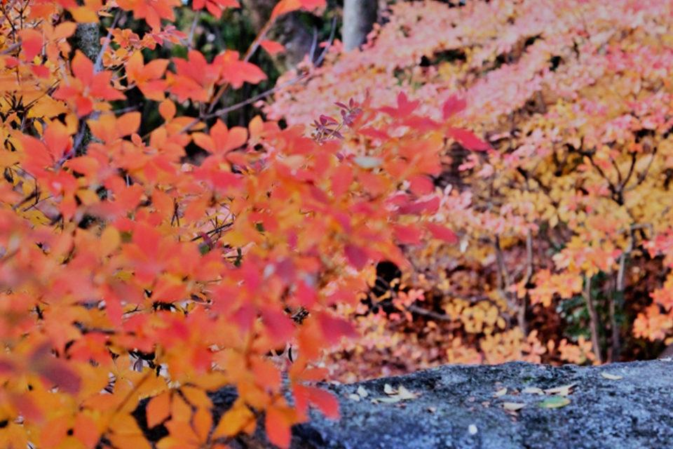 平安神宮紅葉