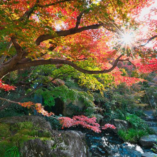 京都梅小路公園のモミジ