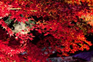 瑠璃光院紅葉ライトアップ