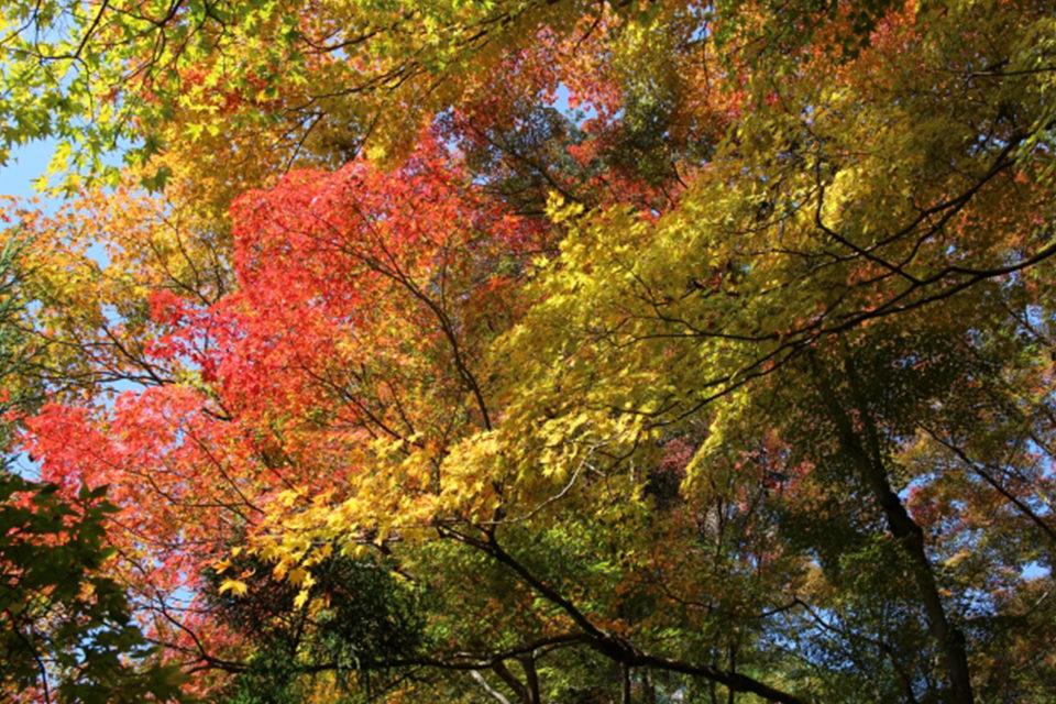 大徳寺の紅葉
