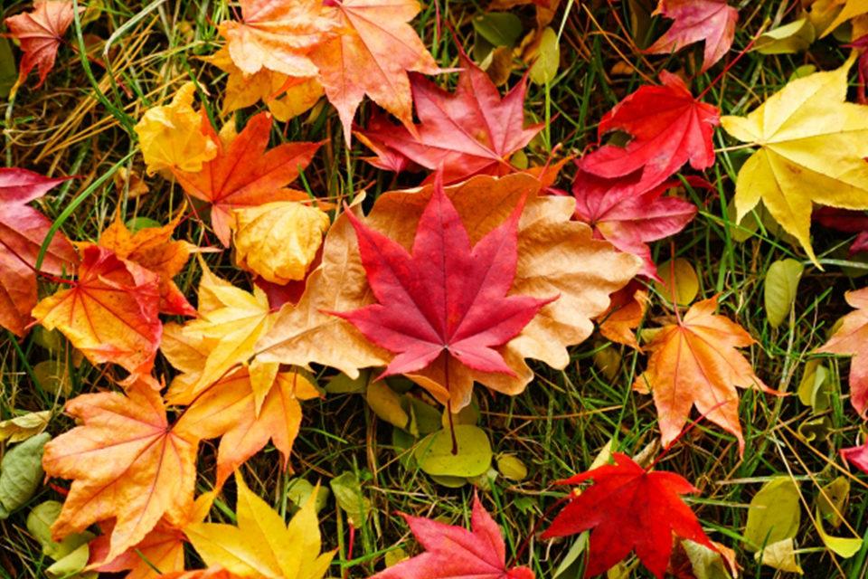 京都の紅葉が美しいには理由がある?!紅葉する葉の主な種類とおすすめ紅葉スポットをご紹介!