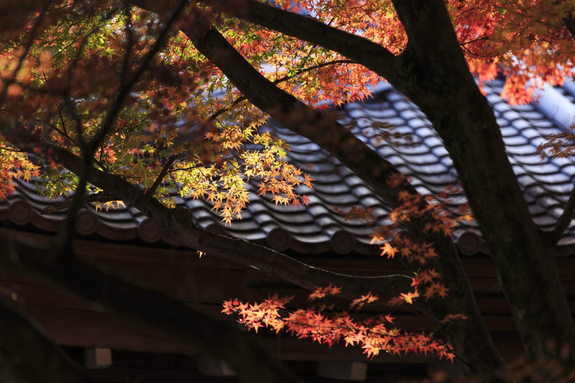京都・大覚寺の紅葉