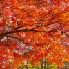 京都嵯峨野の紅葉