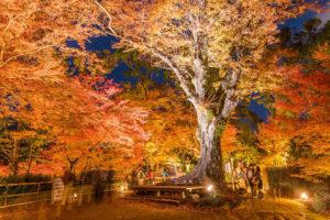 北野天満宮秋の紅葉ライトアップ