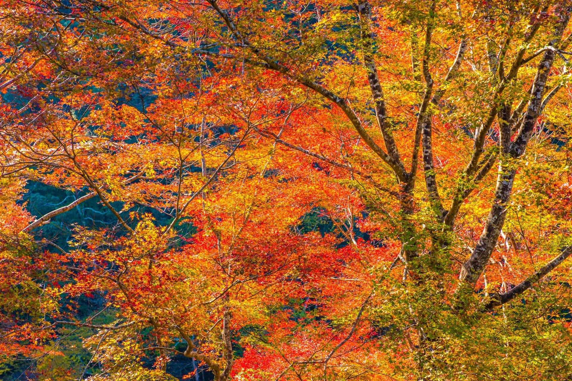 二尊院 京都 紅葉