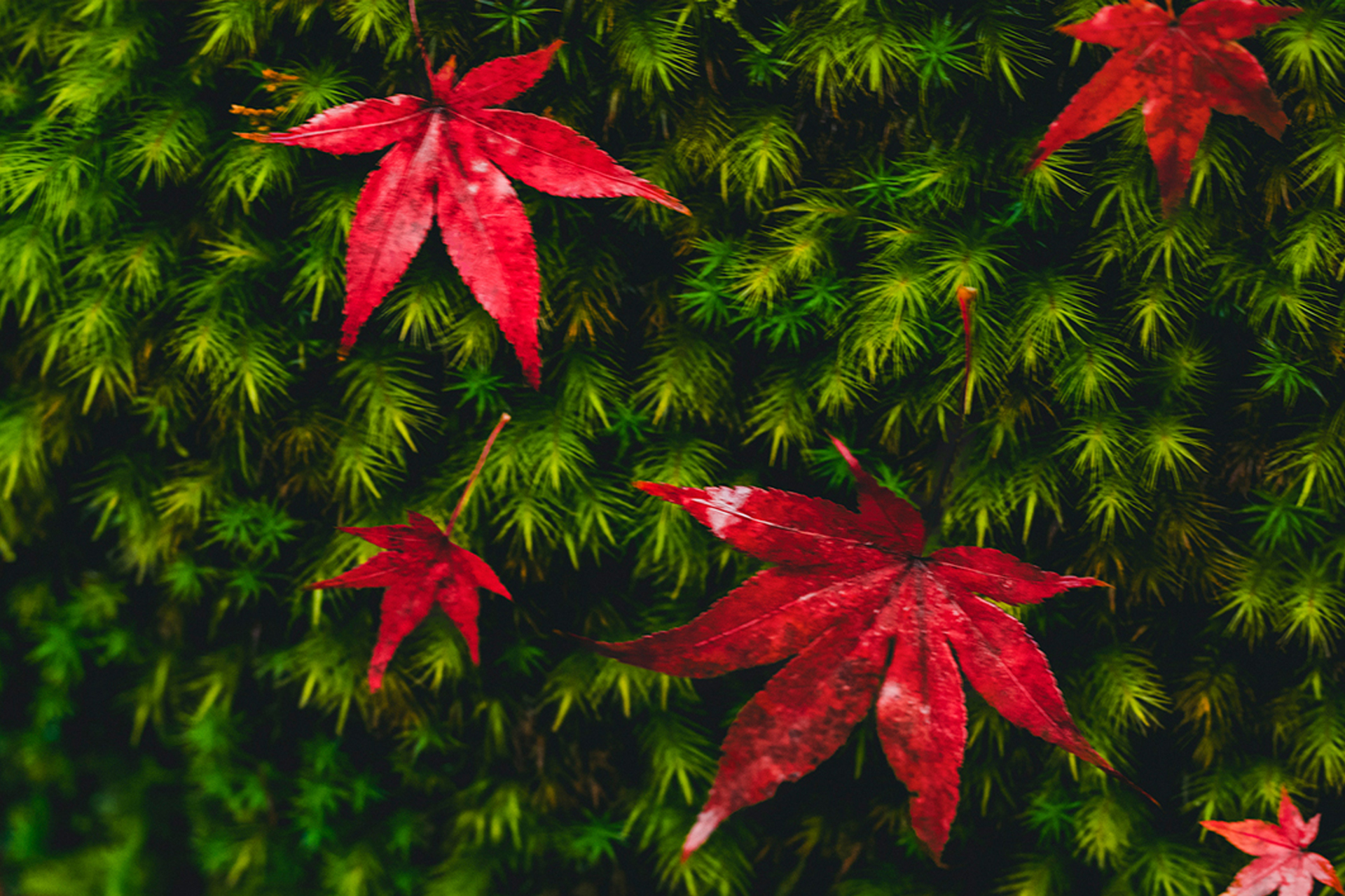 京都 三千院 紅葉