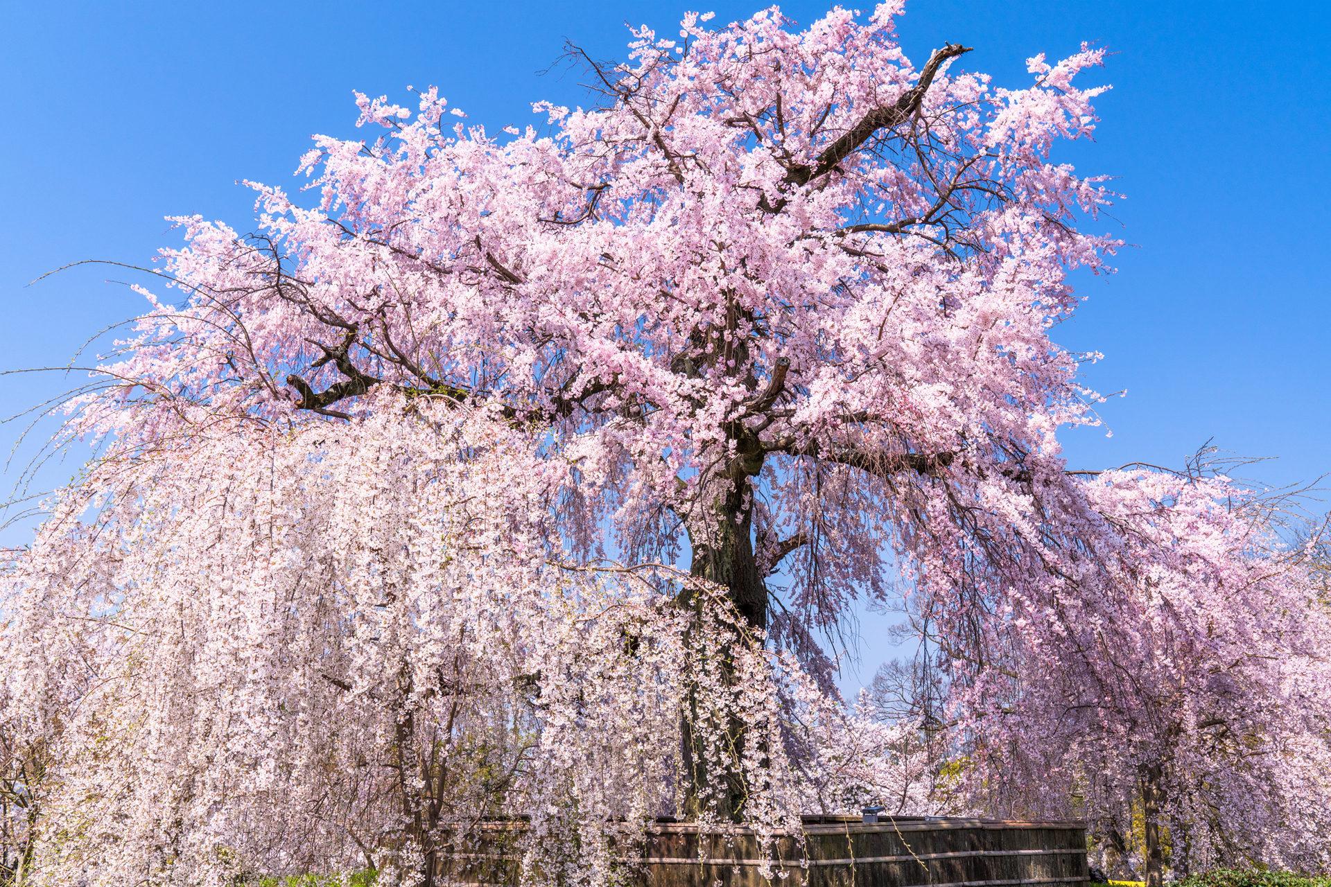 《京都府》円山公園・しだれ桜