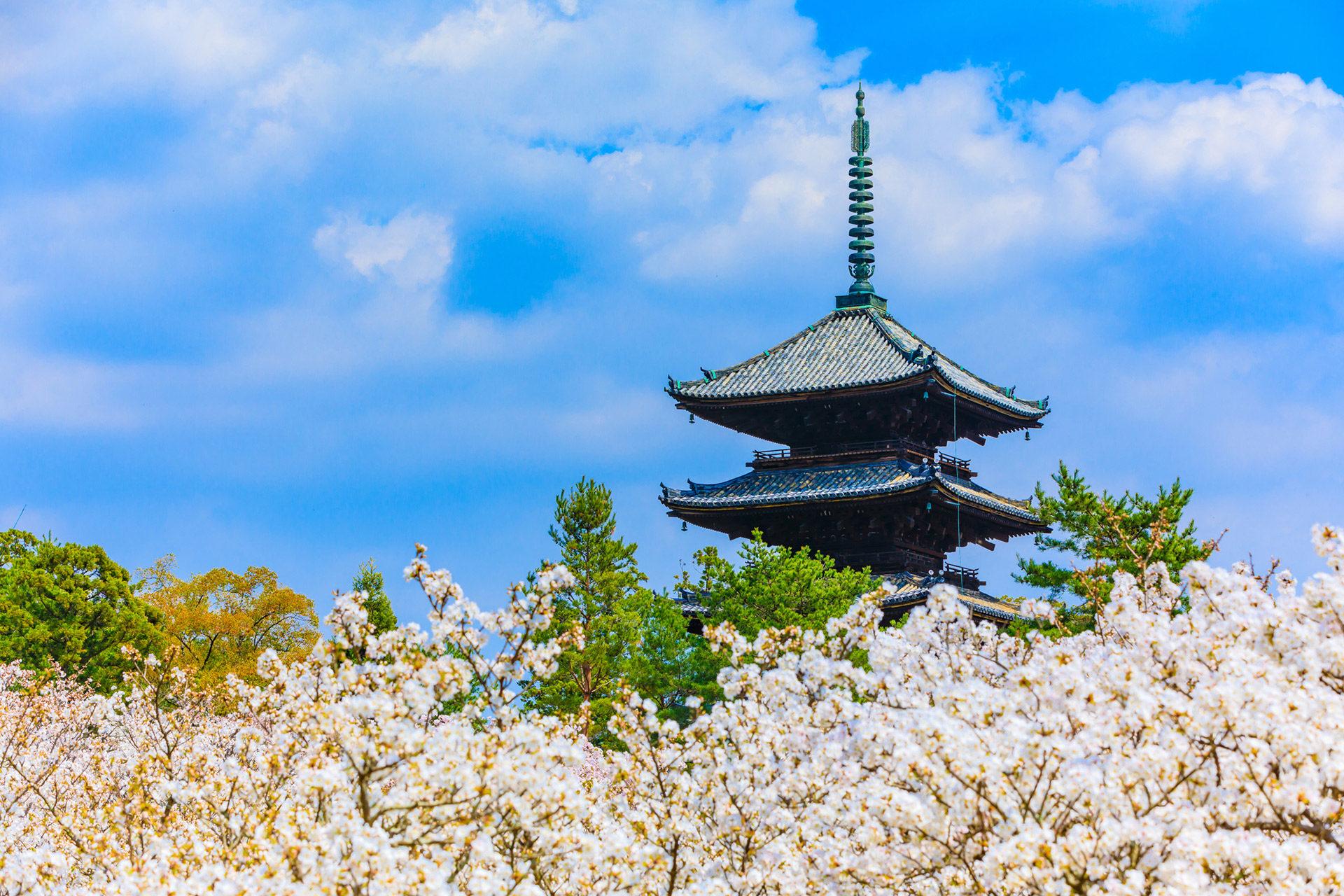 京都-仁和寺-御室桜