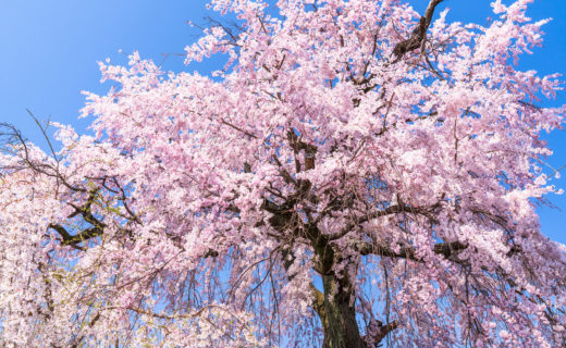 京都-枝垂れ桜