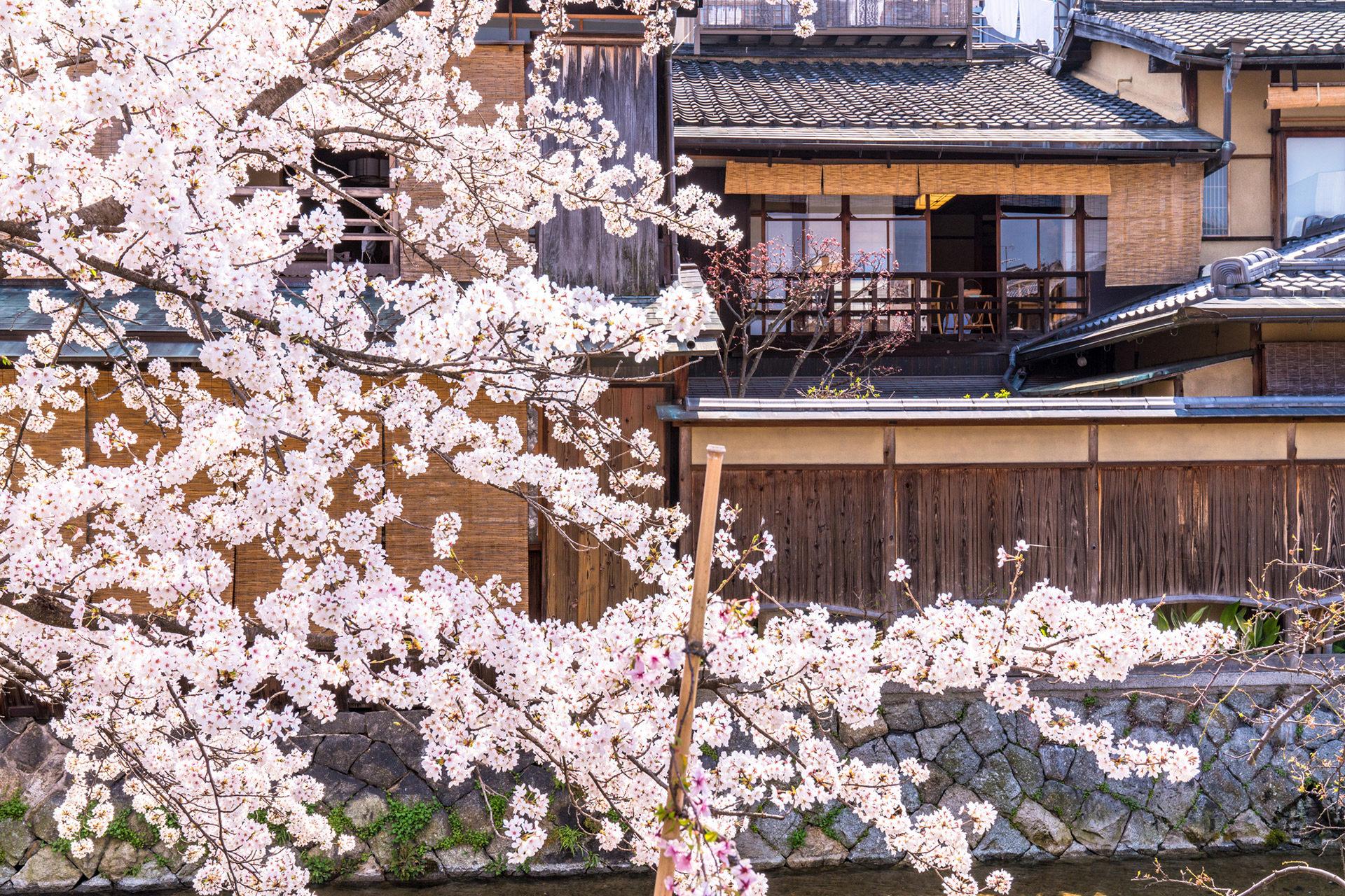 京都 祇園白川 桜