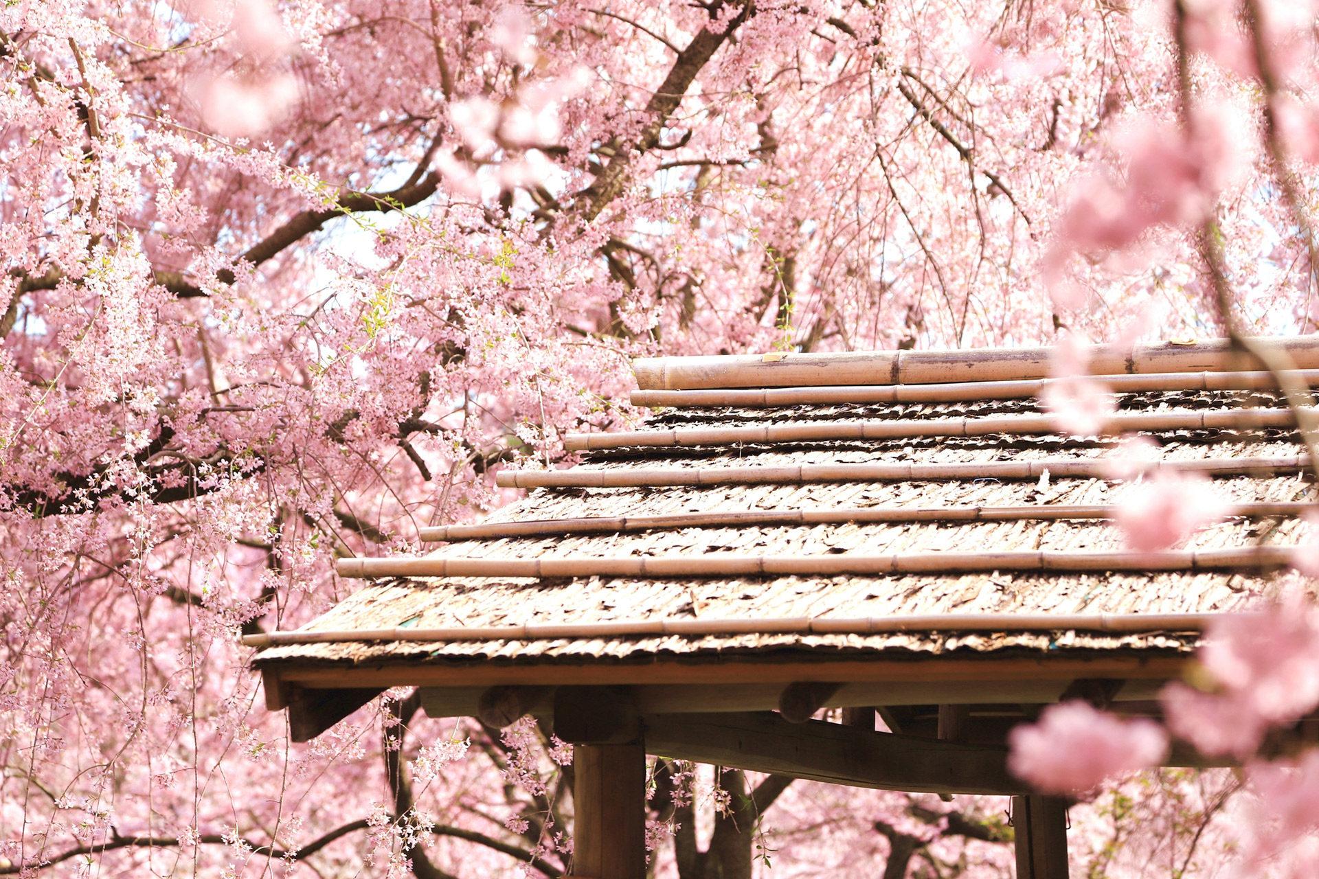 原谷苑-枝垂桜-京都