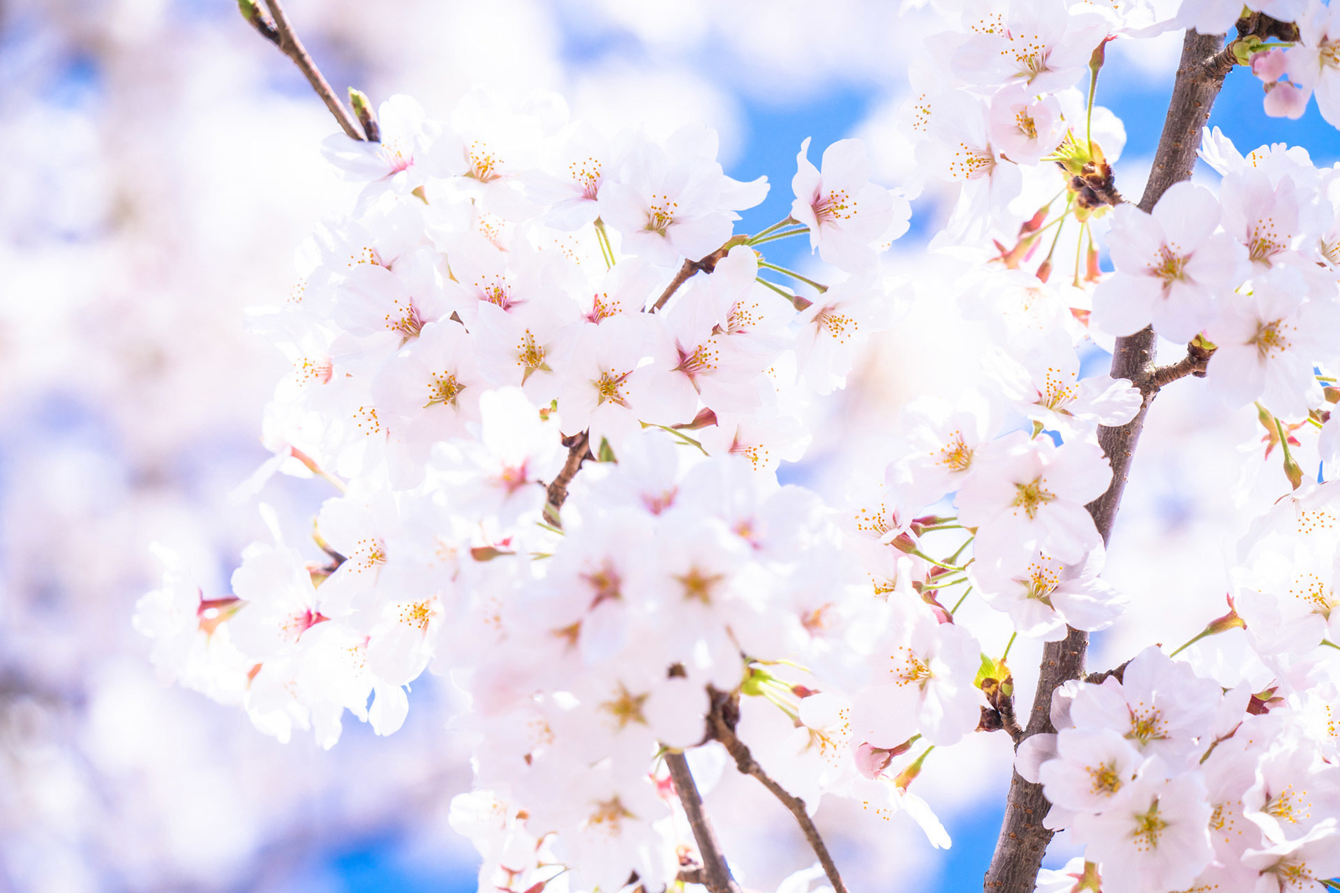 桜-白-開花