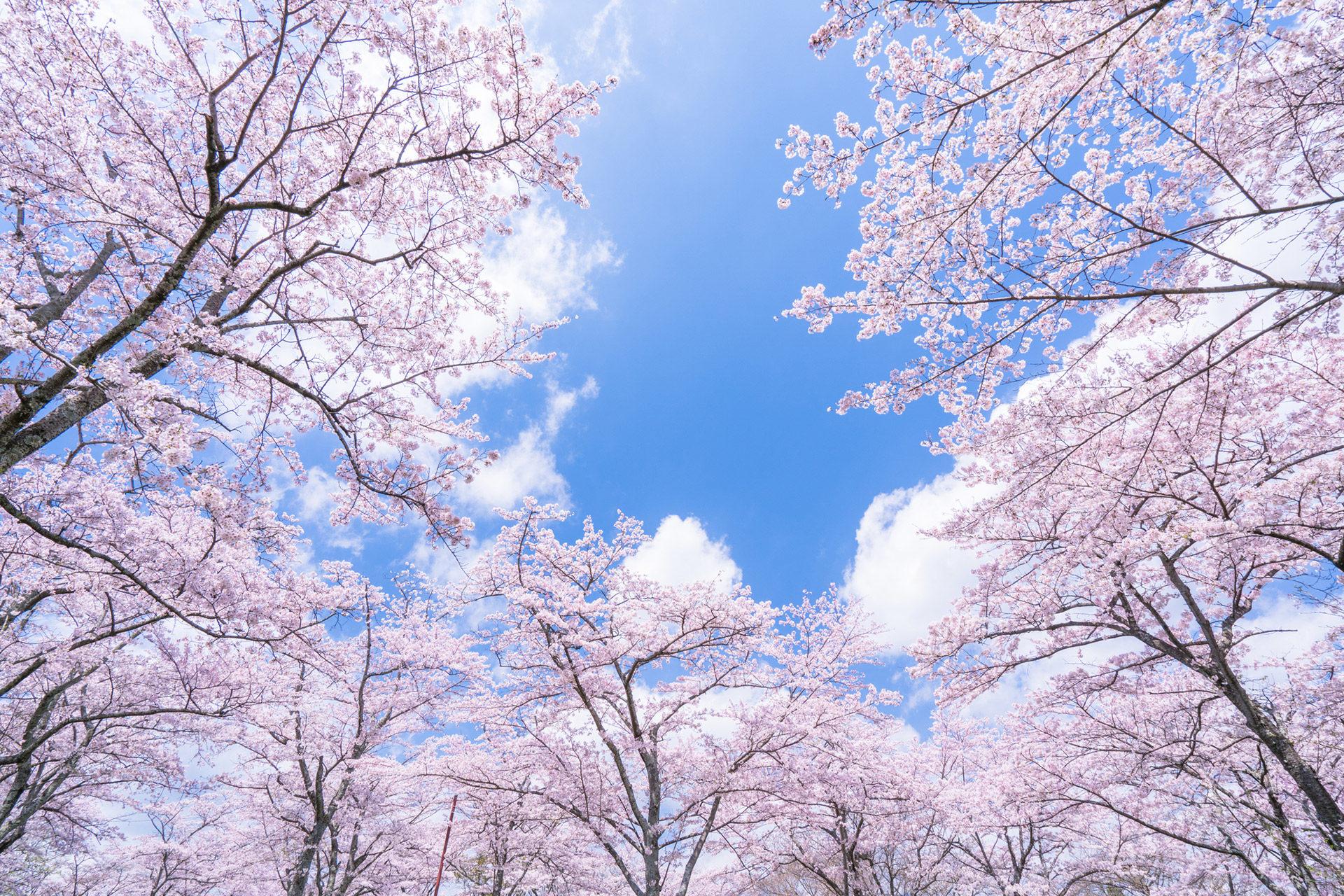 桜-綺麗-景色