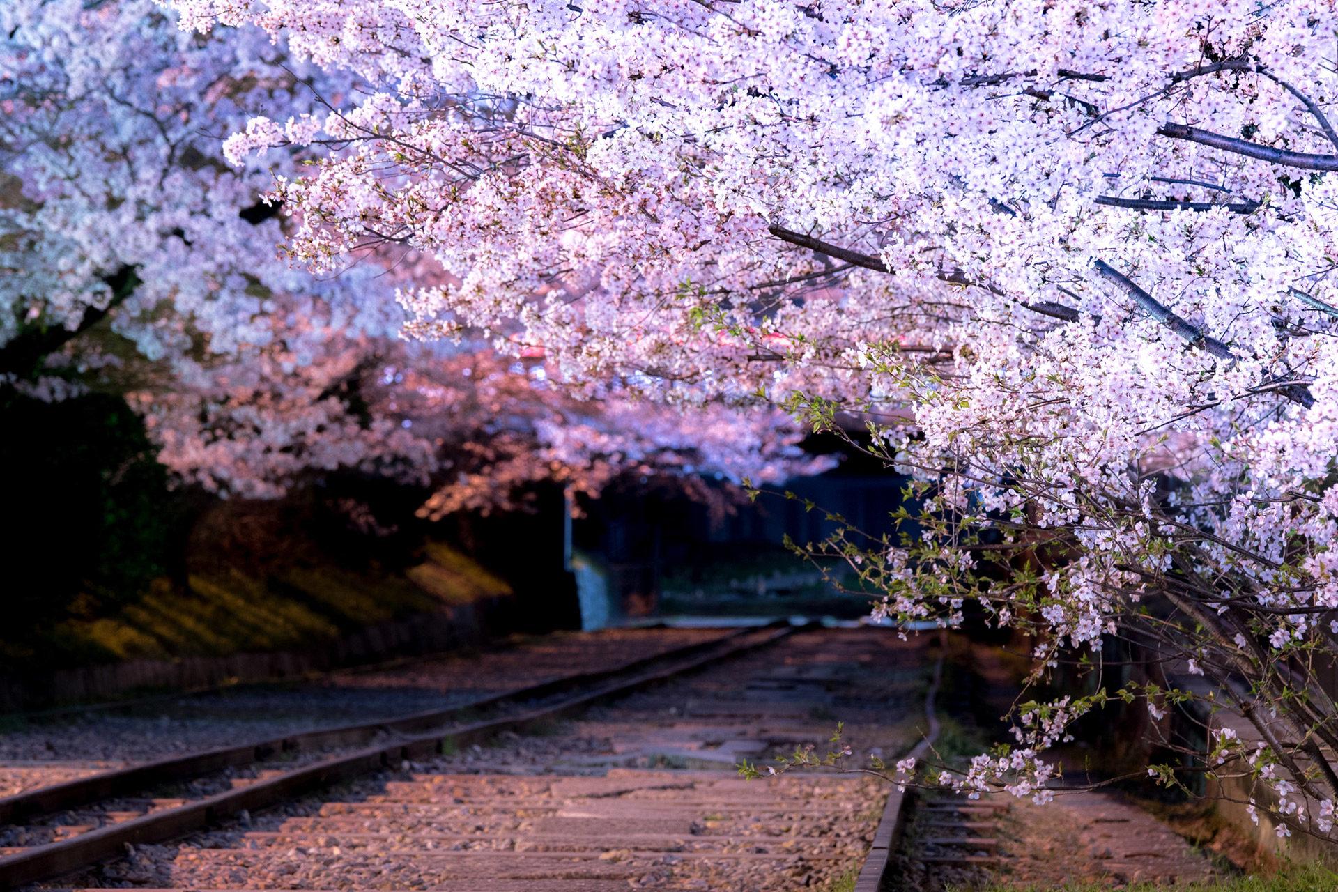 蹴上インクライン-桜