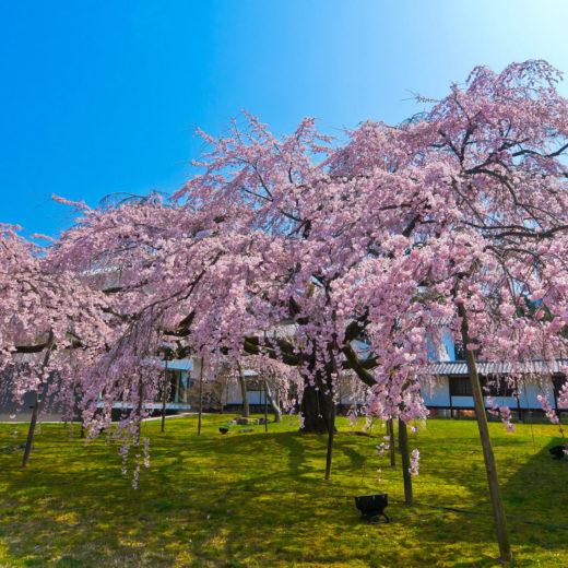 醍醐寺・霊宝館の枝垂れ桜