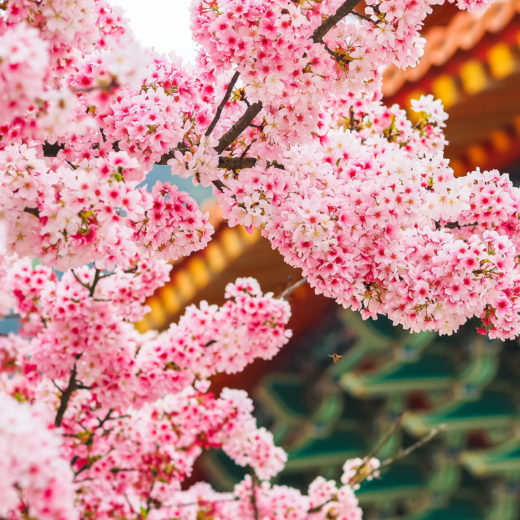 pink-cherry-blossoms