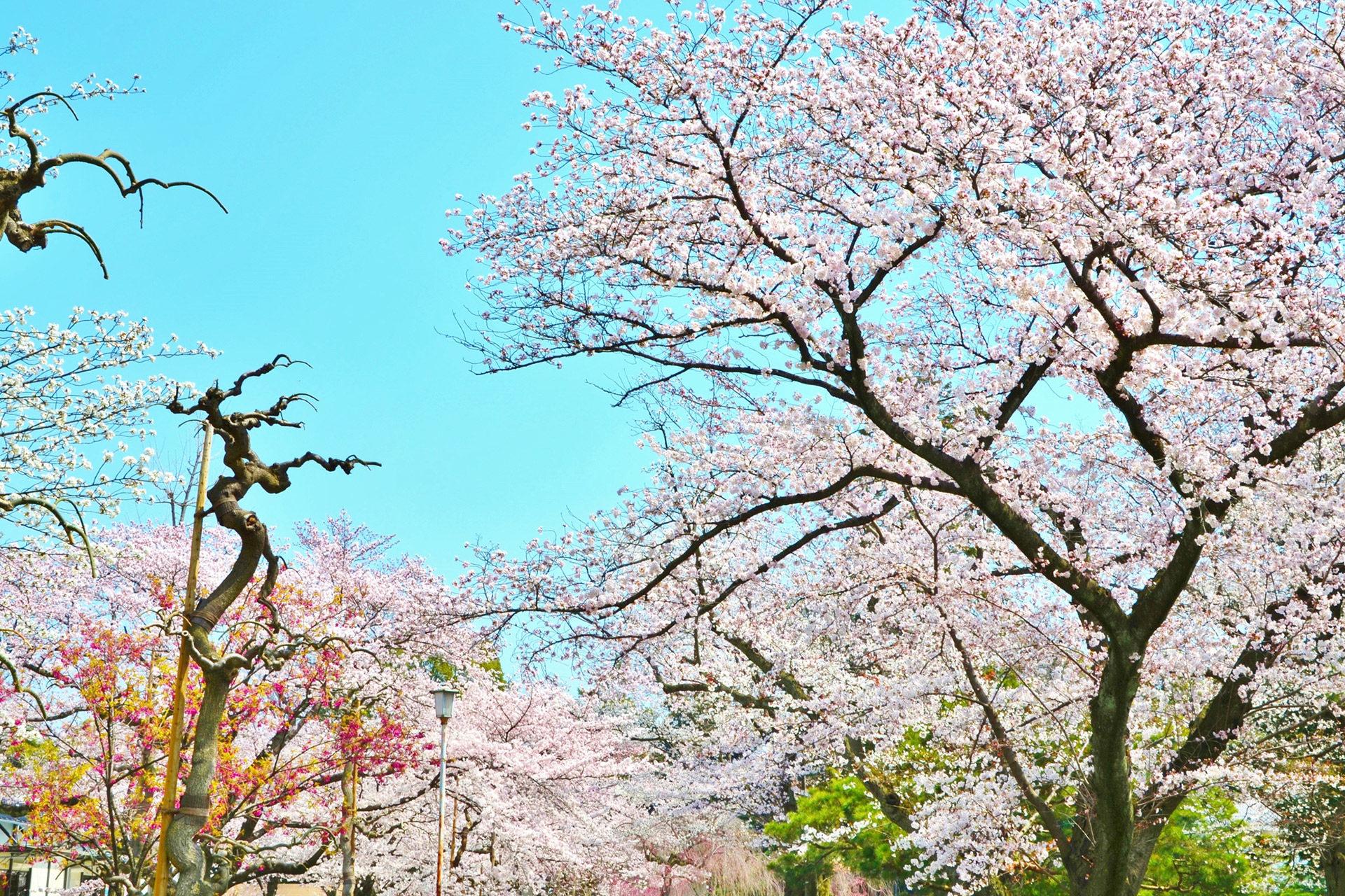 二条城-桜
