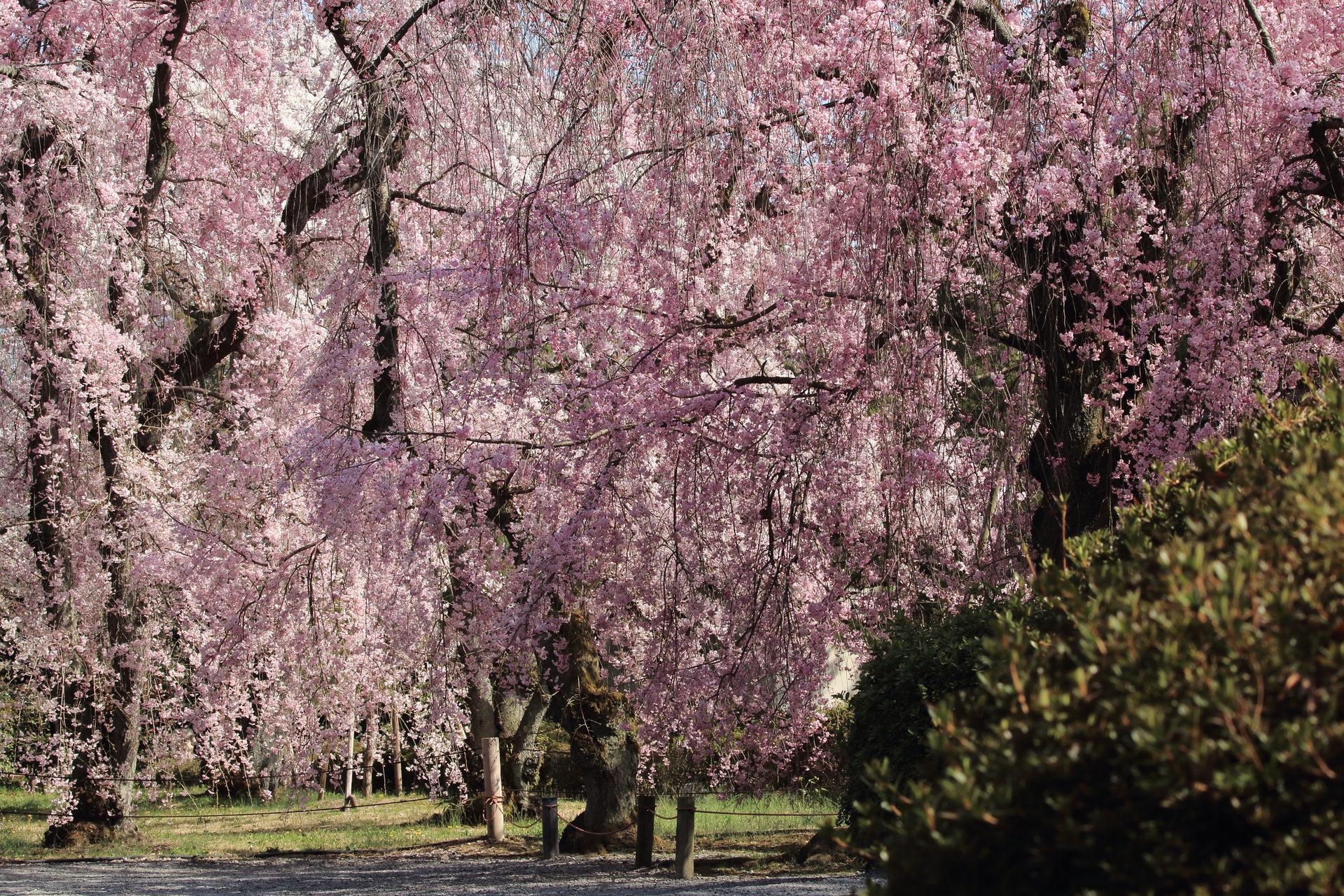 京都の元離宮二条城内にあるしだれ桜