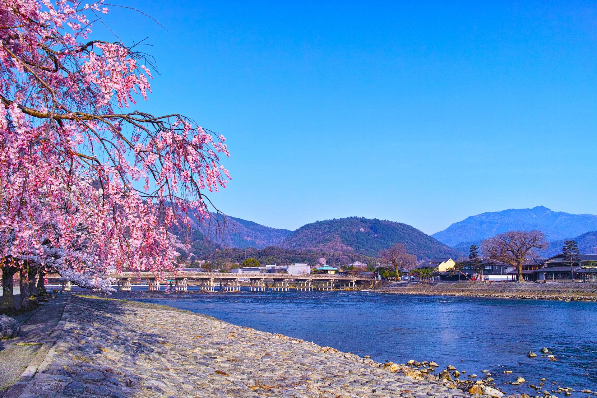 春の桜咲く渡月橋