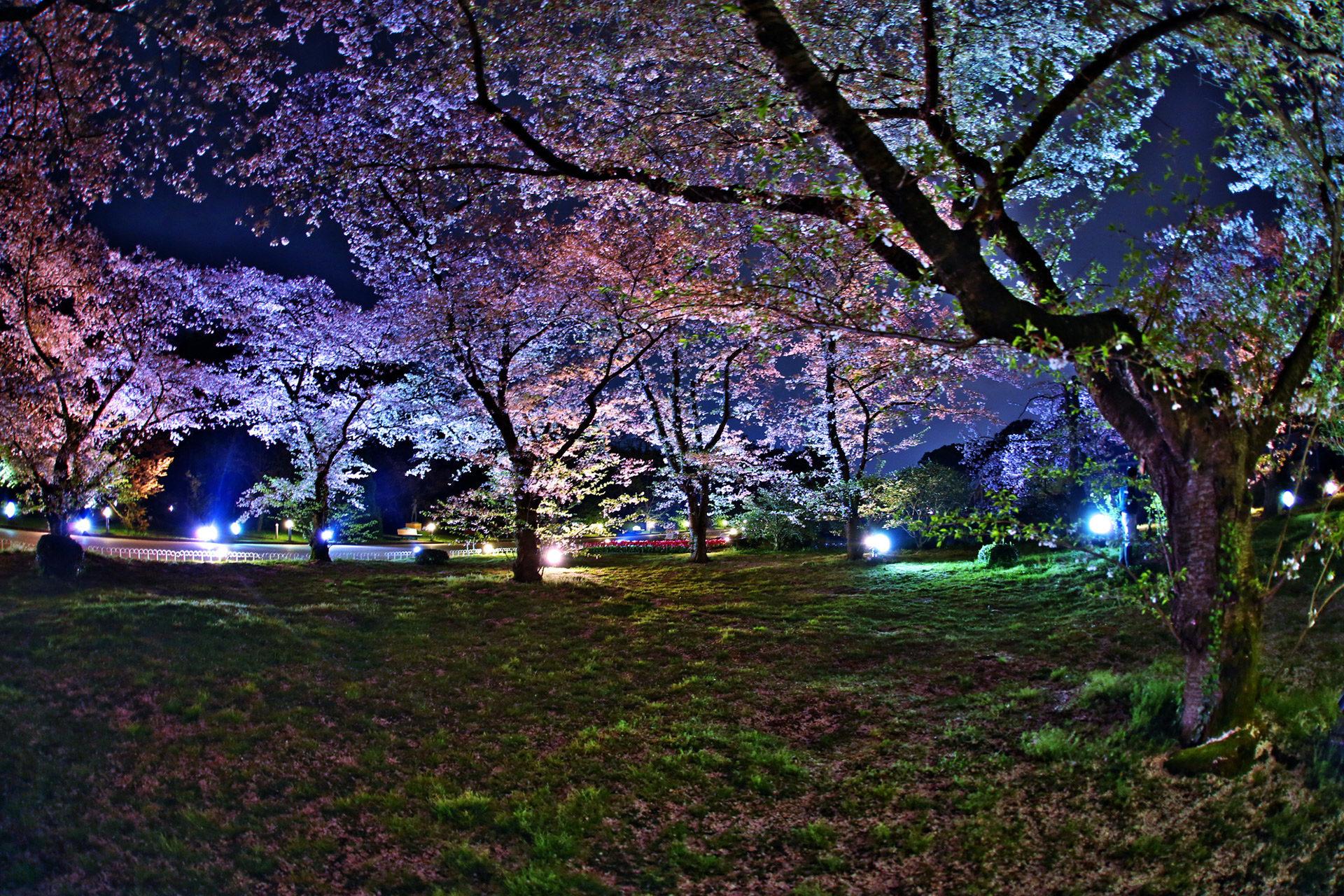 京都府立植物園-桜-ライトアップ