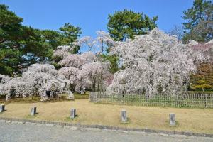 京都御所-桜