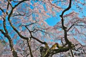 京都御苑-桜-イメージ