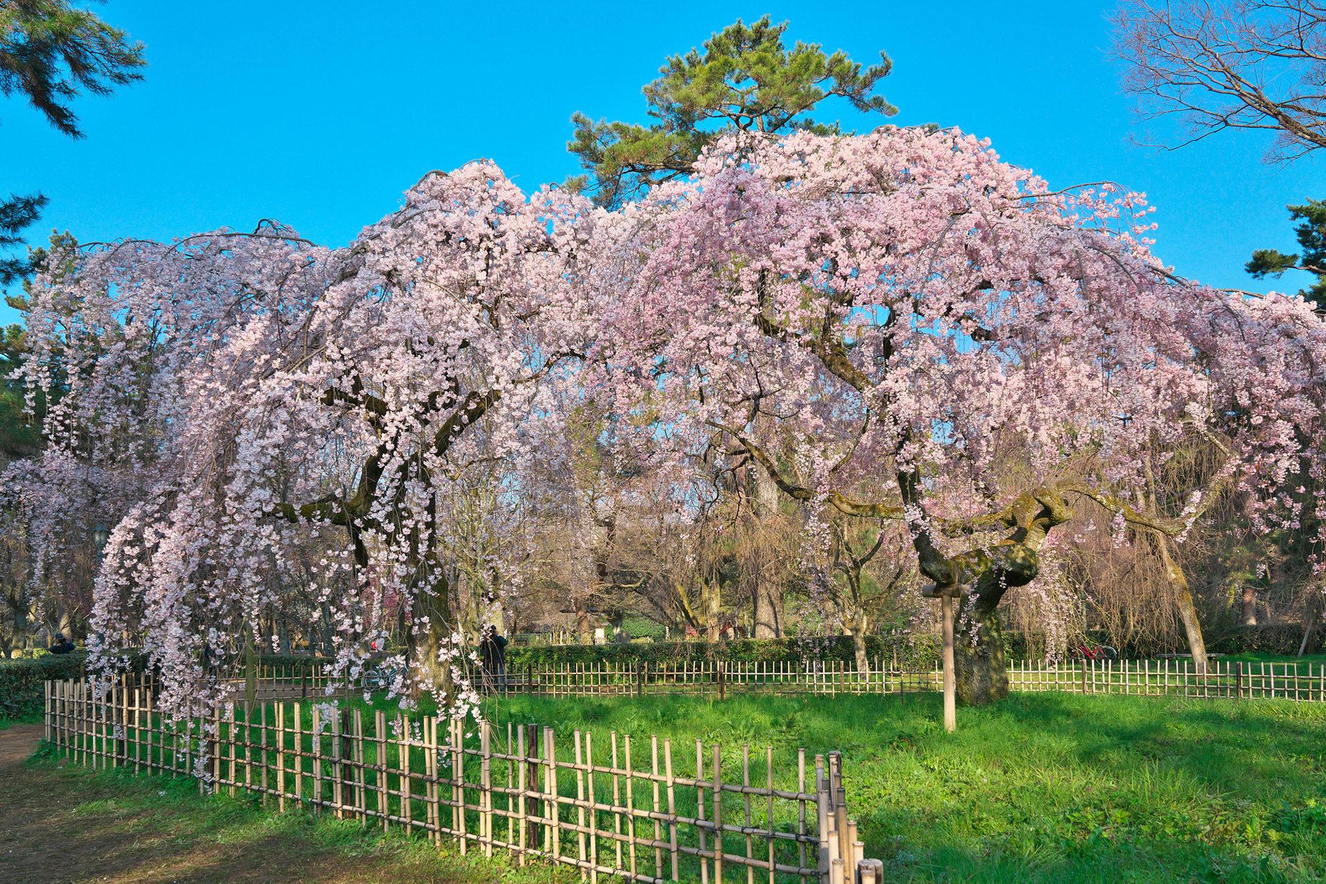 京都御苑-桜