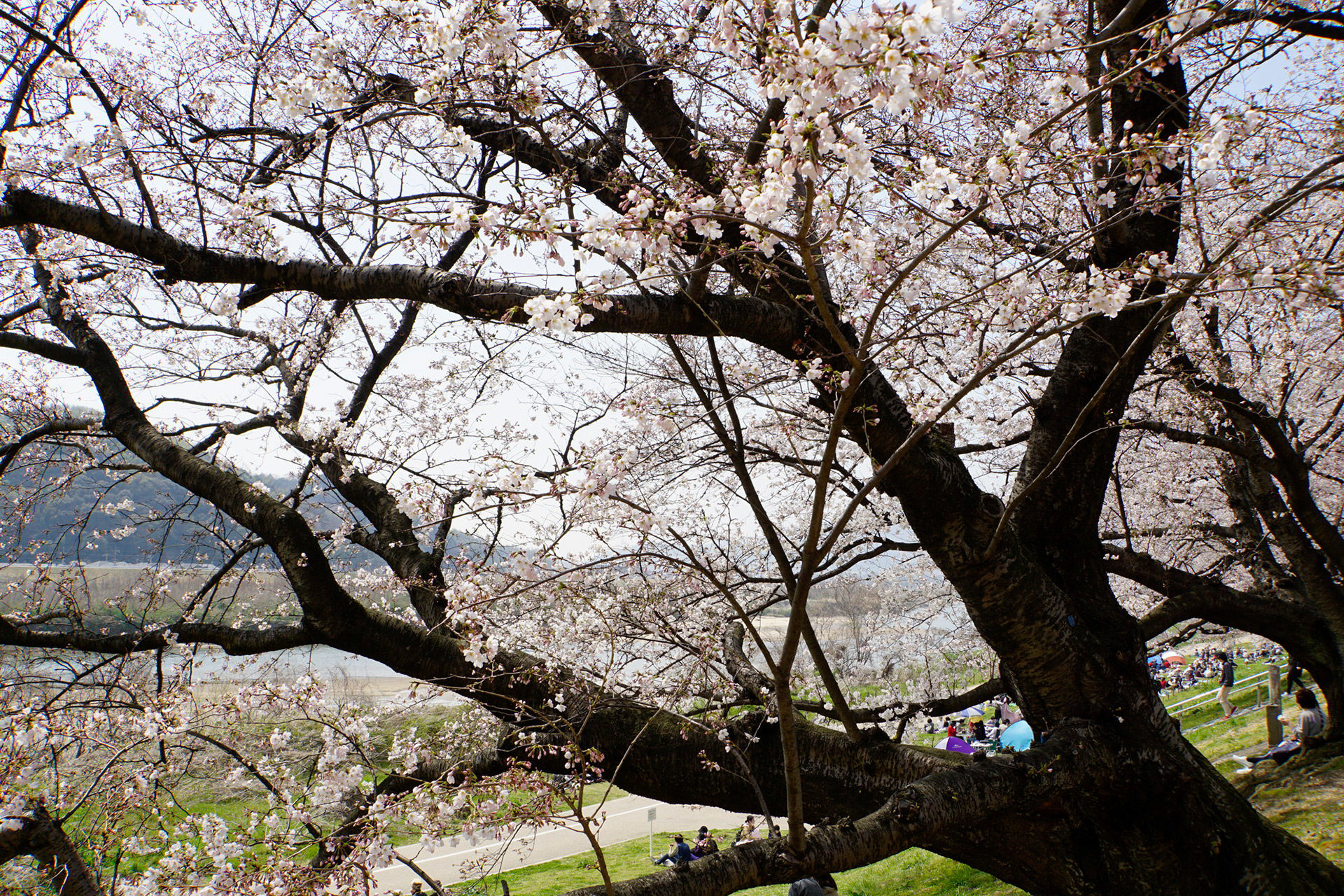 京都-さくらであい館-桜