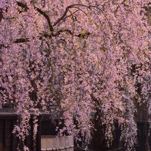 京都-シダレザクラ-絶景