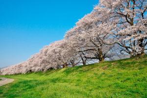 京都-ソメイヨシノ