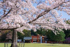 京都-上賀茂神社-桜