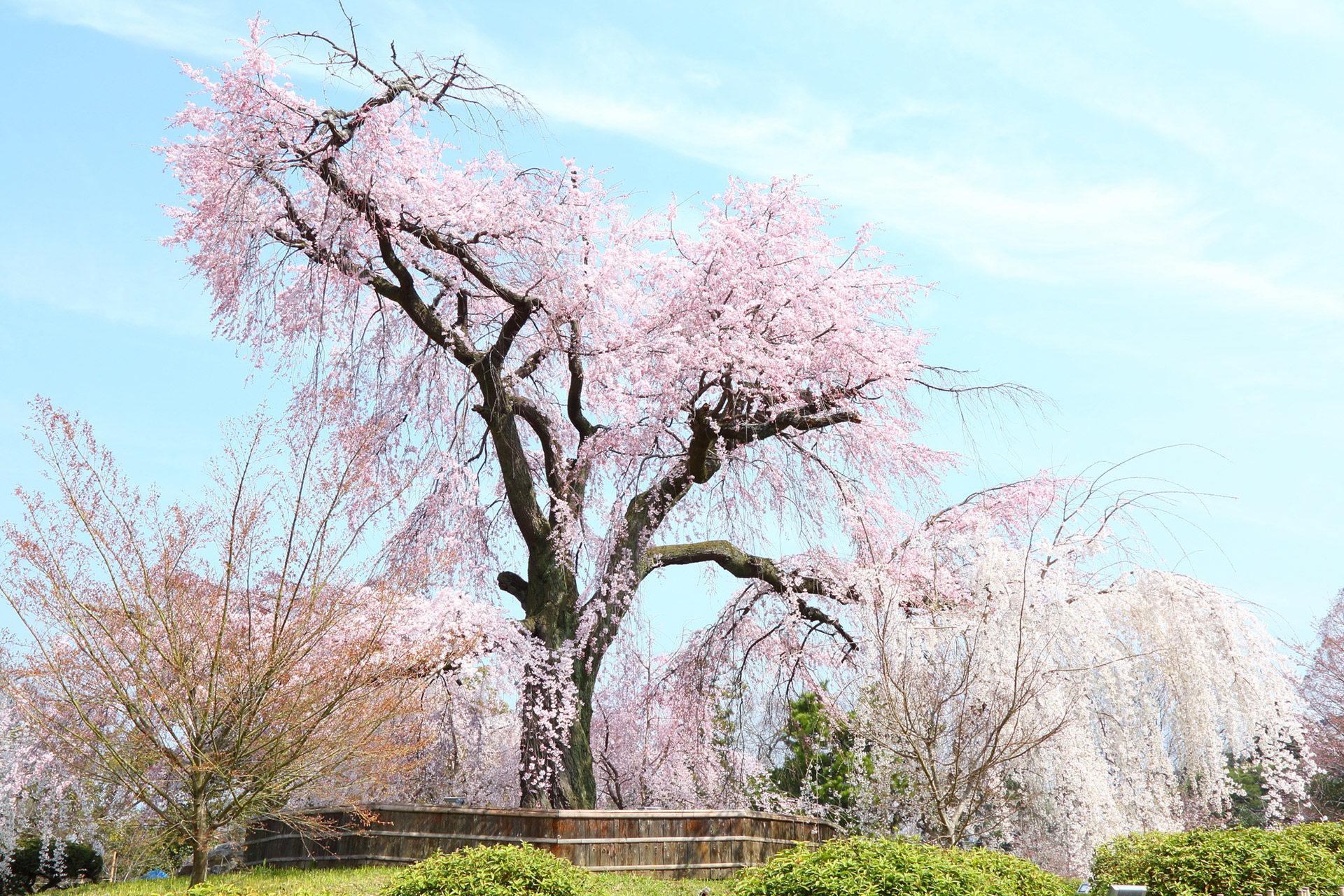 京都-丸山公園-桜