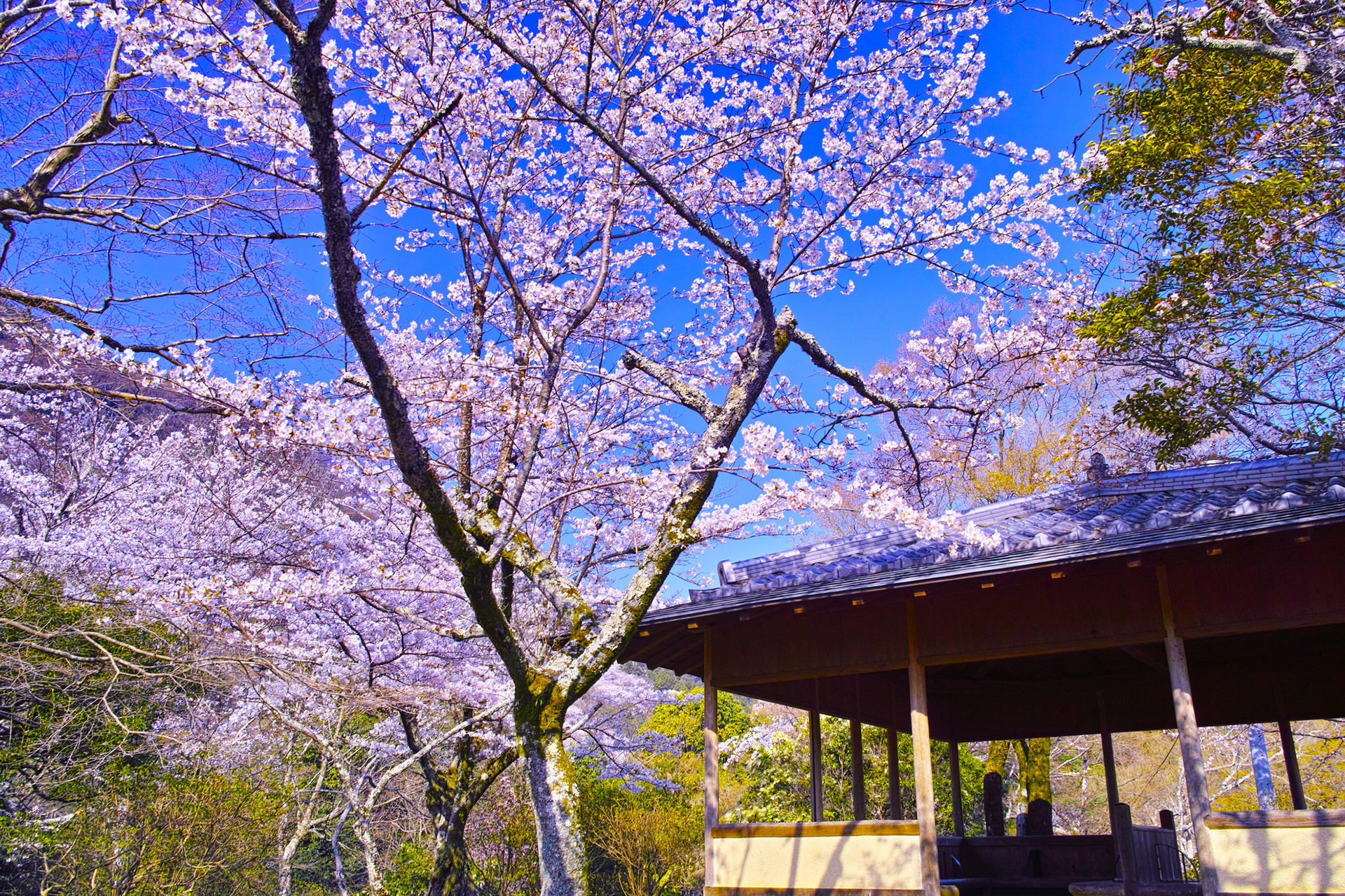 京都-亀山公園-桜