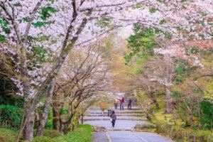 京都-二尊院-桜