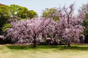 京都-二条城-しだれ桜