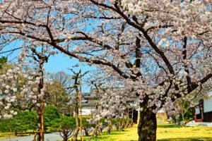 京都-二条城-桜-イメージ