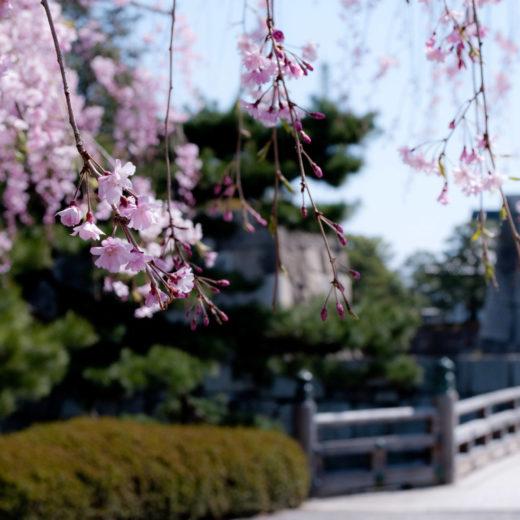 京都-二条城-桜