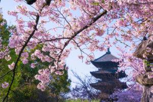 京都-五重塔-早朝桜