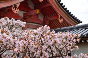 京都-仁和寺-桜-風景