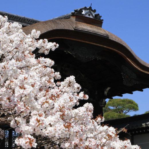 京都-仁和寺-桜
