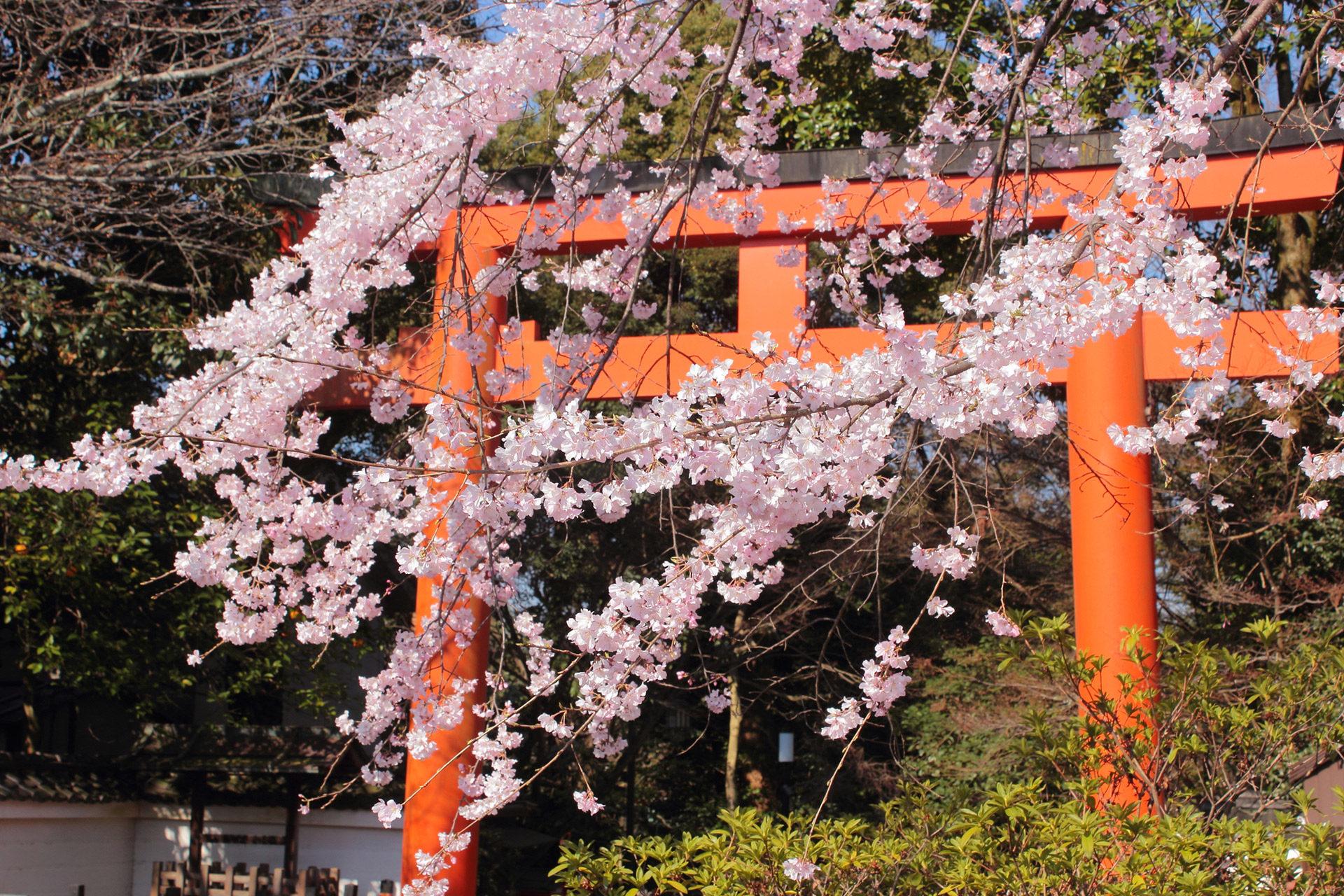 京都-八坂神社-桜