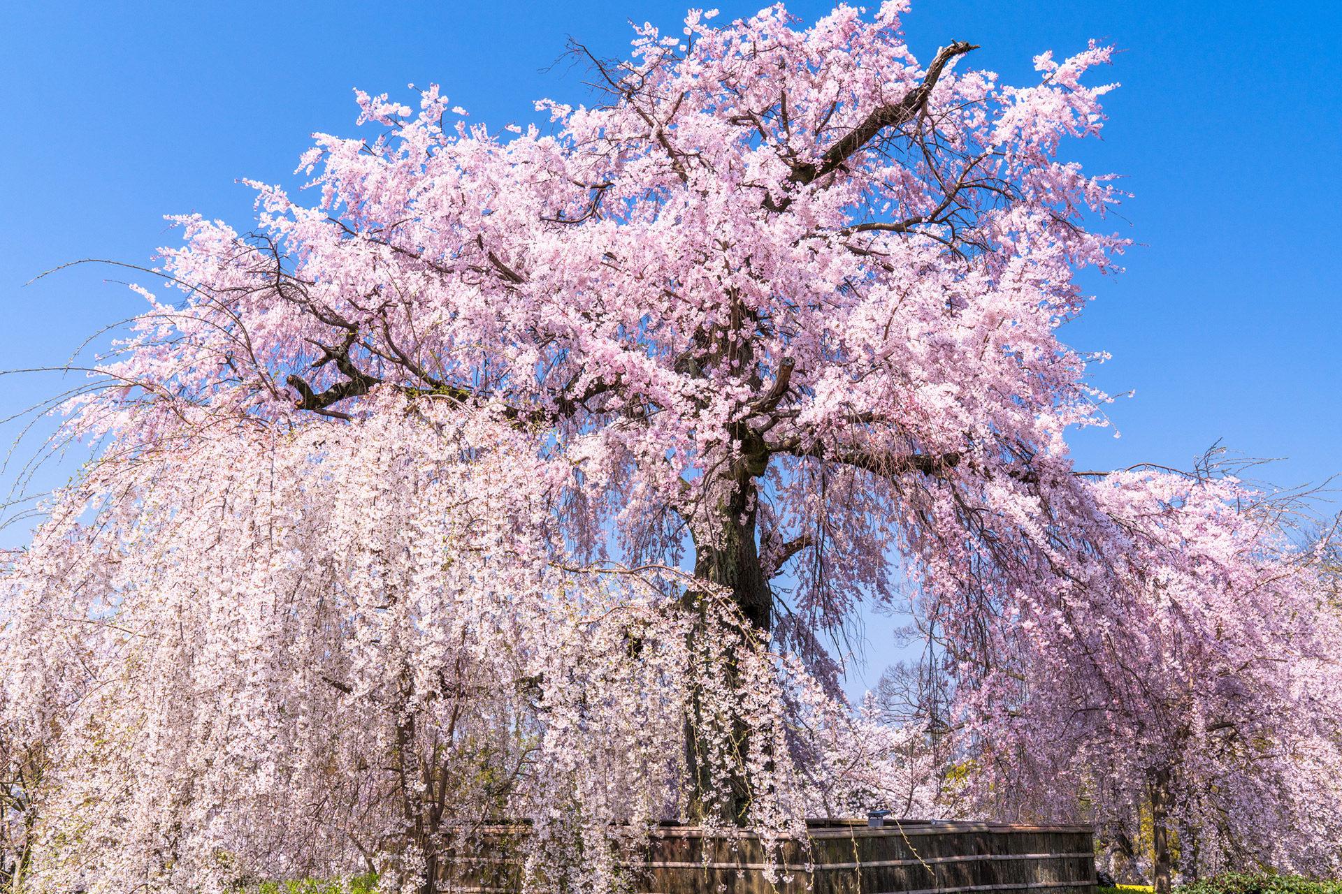 京都-円山公園-桜