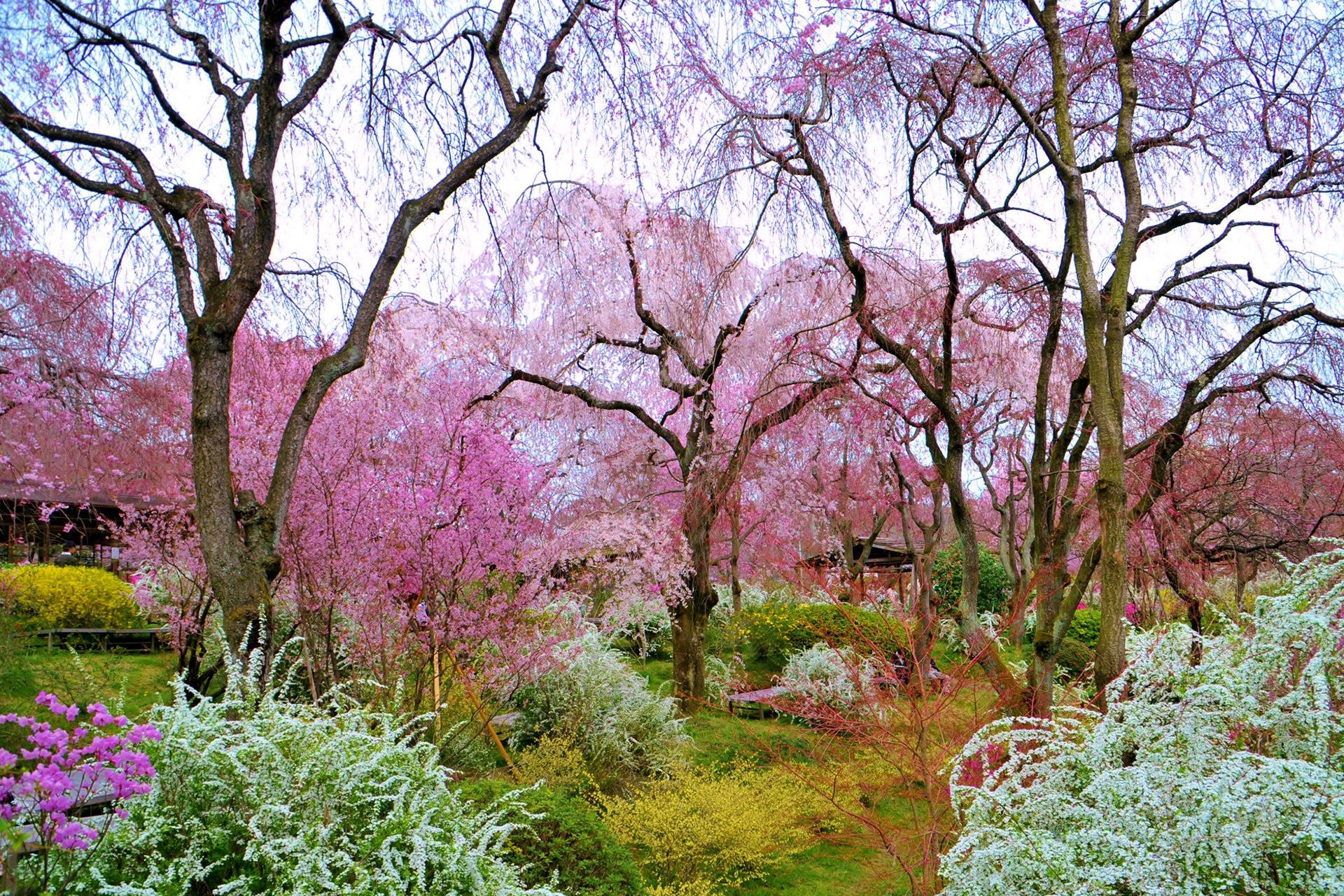 京都-原谷苑-しだれ桜