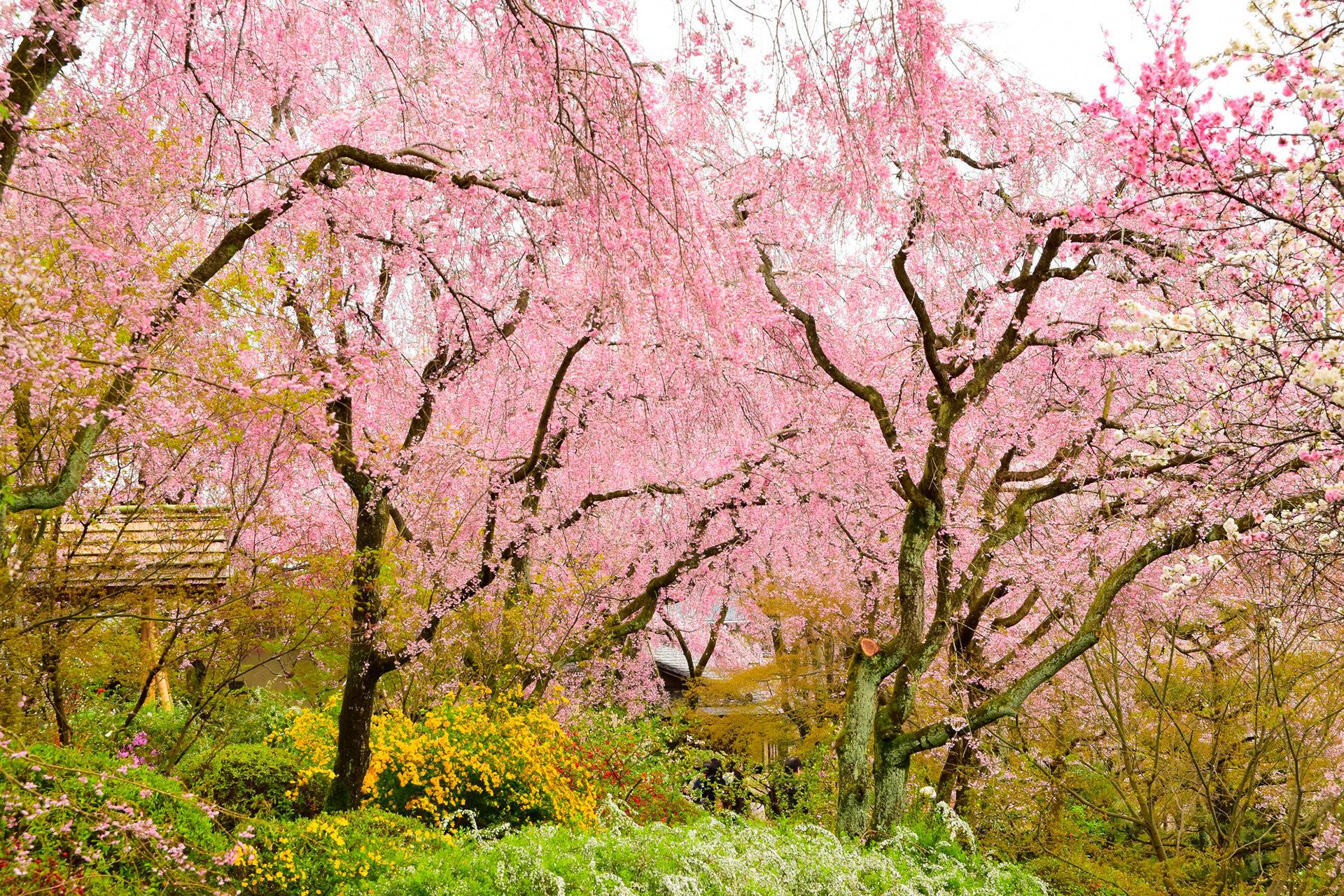 京都-原谷苑-シダレザクラ