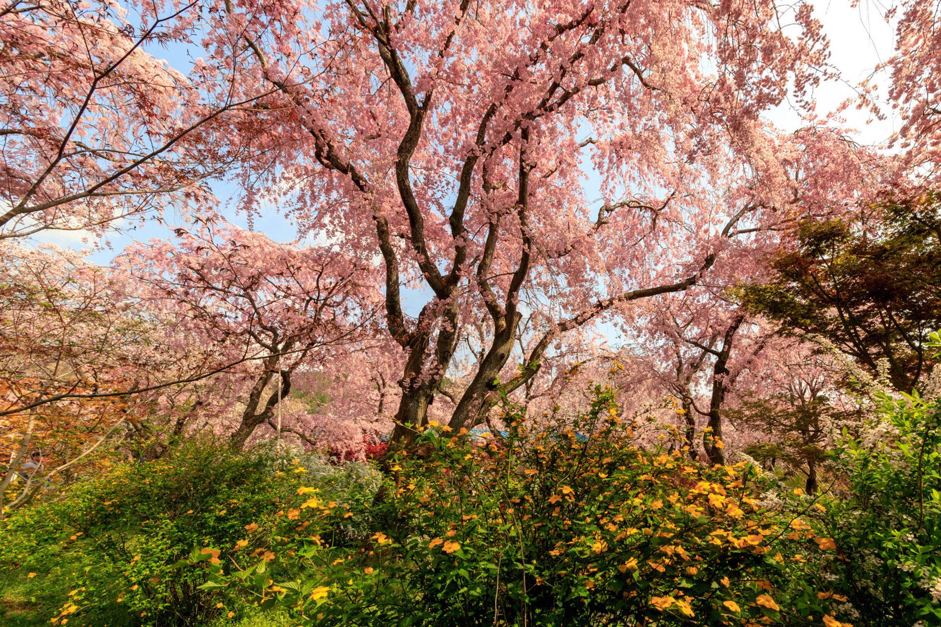 京都-原谷苑-シダレ桜-ジャングル