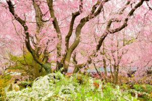 京都-原谷苑-シダレ桜