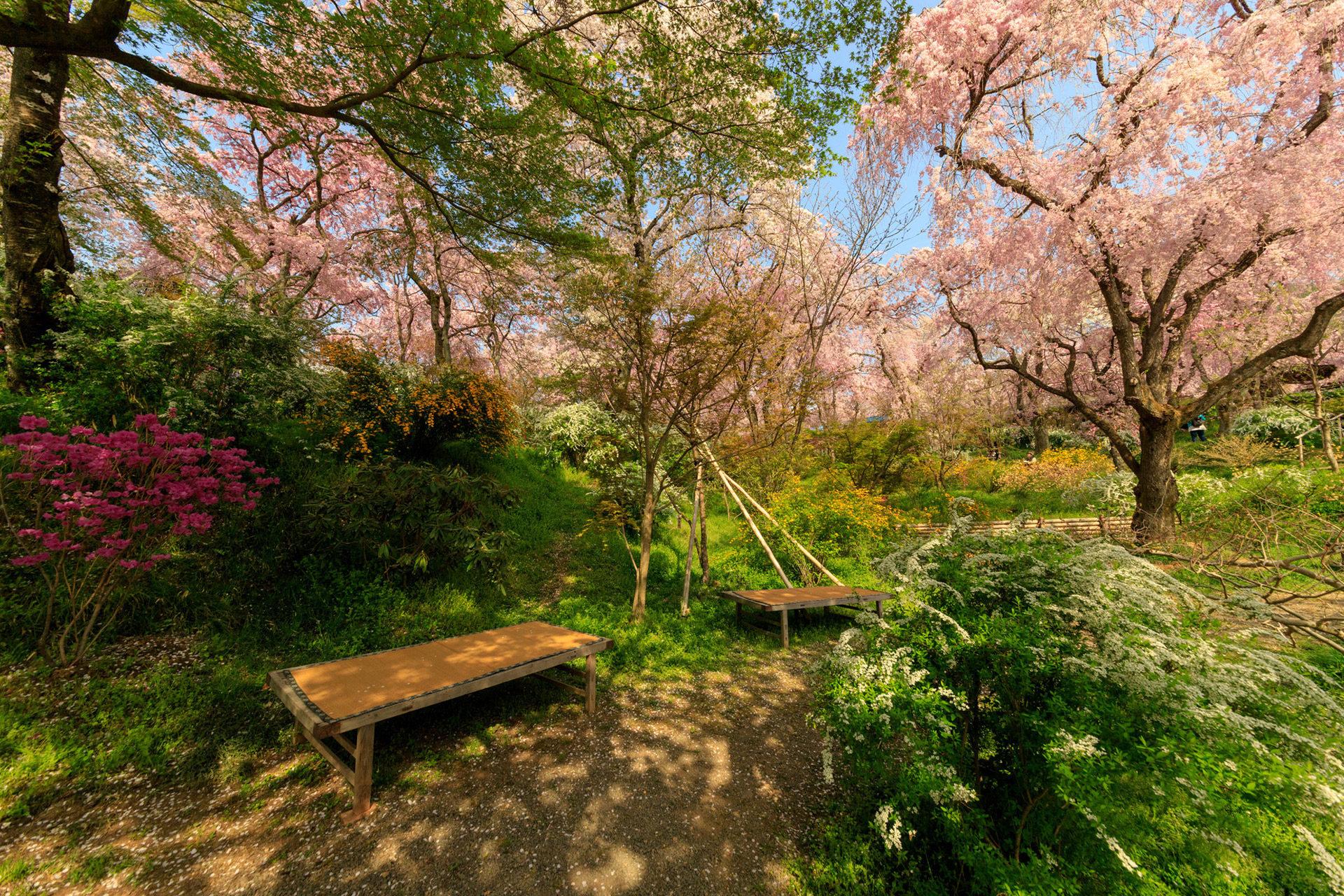 京都-原谷苑-桜-イメージ