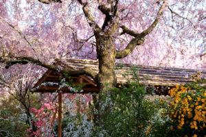 京都-原谷苑-桜-景色